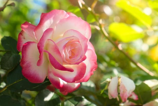 Rosenblüte im garten. rosa und im warmen morgensonnenlicht.