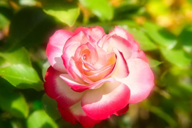 Rosenblüte im garten. rosa und weiße rosenblüte im warmen morgensonnenlicht.