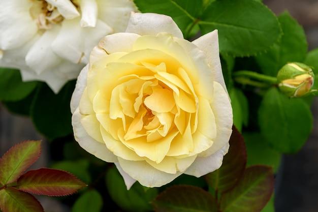 Rosenblüte mit gelber mitte auf grünem laub