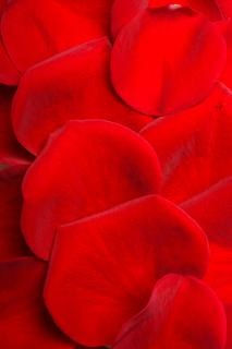 Rosenblüten, blüte