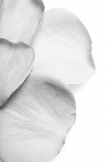 Rosenblüten, stieg