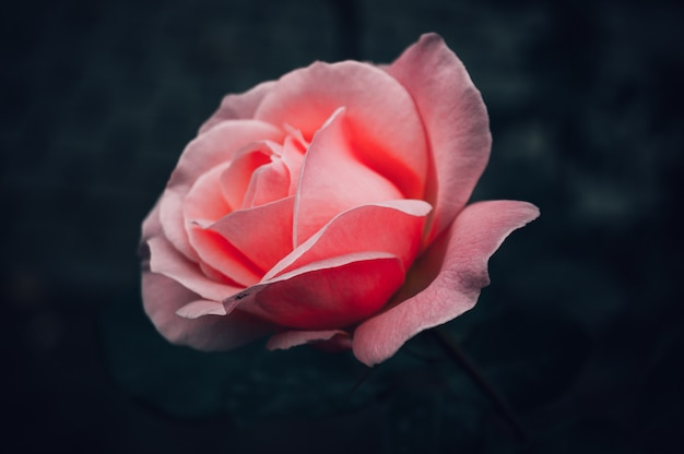 Rosenblume im park