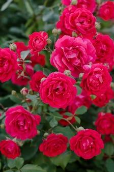 Rosenbusch mit rosa rosen in voller blüte