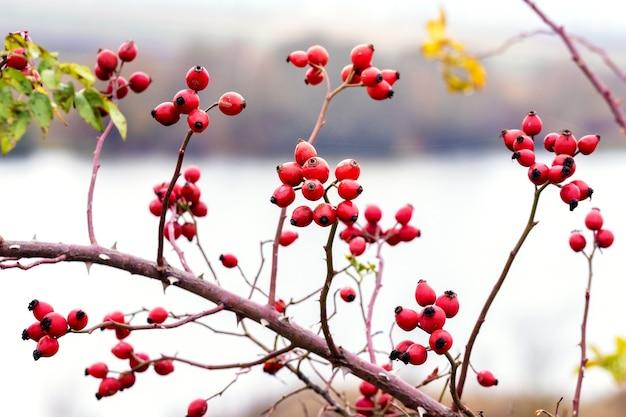 Rosenbusch mit roten beeren auf dem hintergrund des flusses