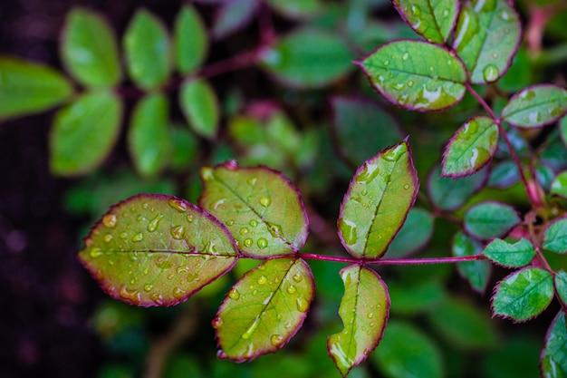 Rosenbuschgrüne blätter