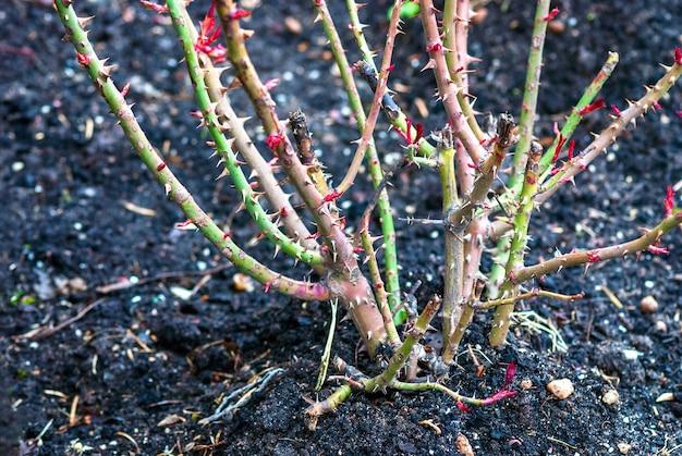 Rosenstrauchschnitt im frühjahr rosenstrauch ohne blätter im garten schneiden