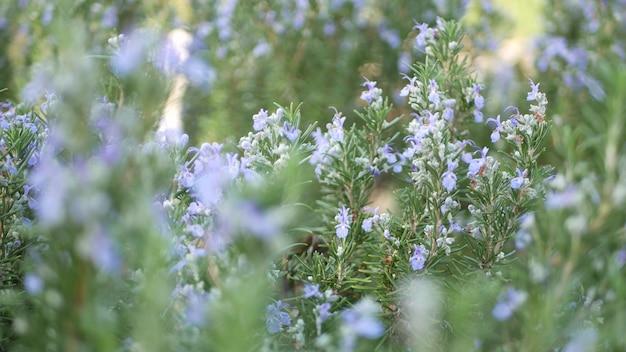 Rosmarin-salvia-kraut. frühlingswiese, grün von aromatischem salbei. frühling le. blumen blühen.