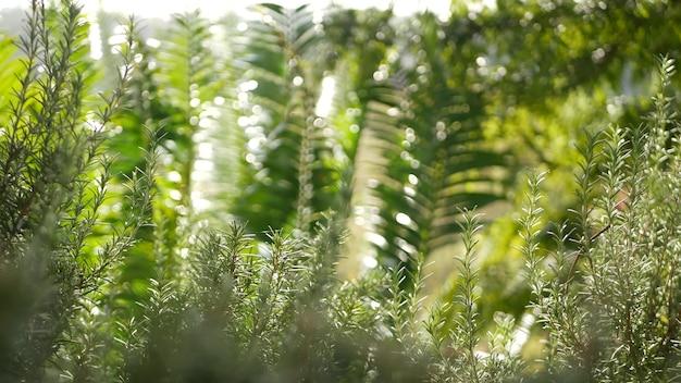 Rosmarin salvia kraut im garten, kalifornien usa. frühlingswiese romantische atmosphäre, morgenwind in zartem grün von aromatischem salbei. frühlingsfrischer natürlicher botanischer garten oder lea im weichzeichner
