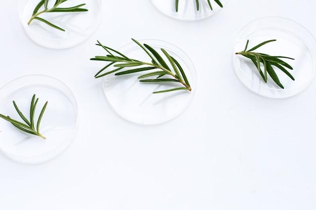 Rosmarinblätter in petrischalen auf weißem hintergrund.