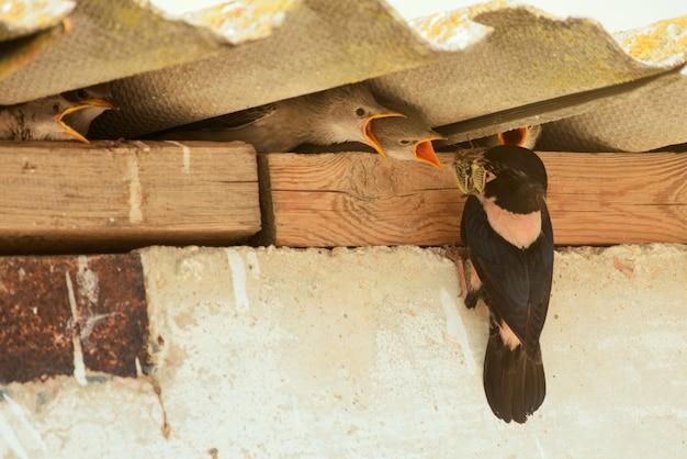 Rosy starling füttert seine küken.