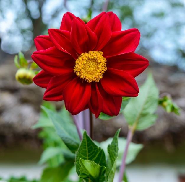 Rot der dahlienblume im garten. nahansicht.