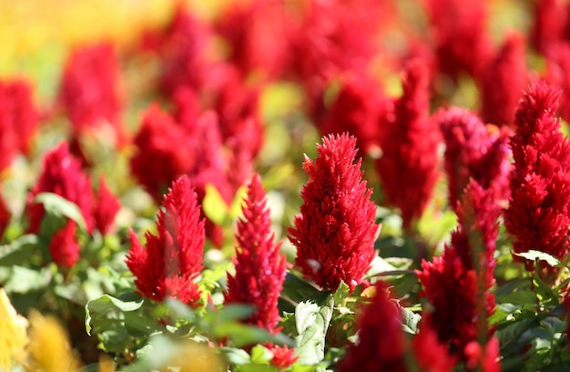 Rot der hahnenkammblume in der blüte und im morgensonnenschein im blumengarten.