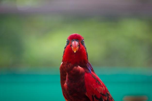 Rot gefärbte papagei