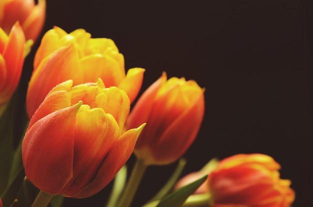 Rot-orange tulpen mit wasser fällt auf einen schwarzen hintergrund.