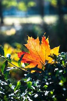 Rot-orangees blatt im sonnenlicht auf bokeh hintergrund. schöne herbstlandschaft mit grünem gras. buntes laub im park. fallen lässt natürlichen hintergrund