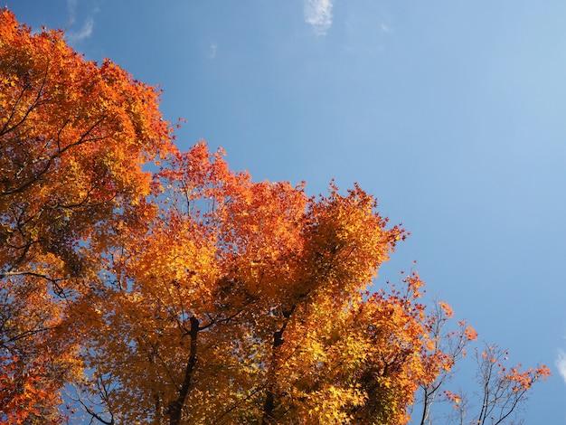 Rotahorn verlässt baum über blauem himmel