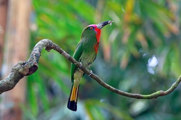 Rotbärtiger bienenfresser nyctyornis amictus schöne vögel, die insekt essen
