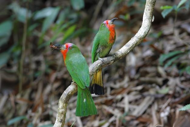 Rotbärtiger bienenfresser nyctyornis amictus schöne vögel von thailand