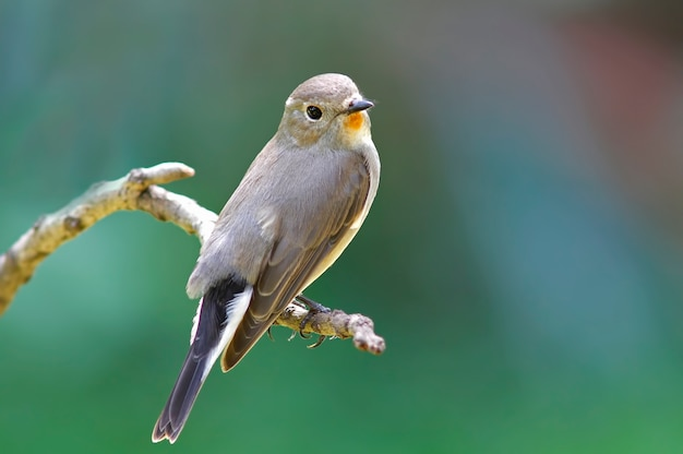 Rotbrüstiger fliegenfänger taiga fliegenfänger ficedula parva