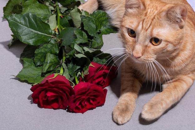Rote 6 wochen alte katze mit nahe rosa blumen liegend
