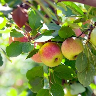 Rote äpfel auf apfelbaum