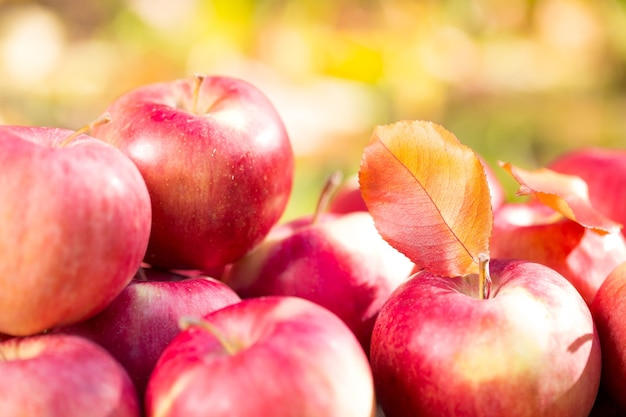 Rote äpfel im herbst draußen. thanksgiving-feiertagskonzept