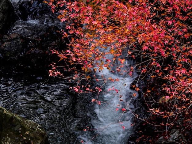 Rote ahornblätter auf dem ahornbaum im herbst auf wasserfall