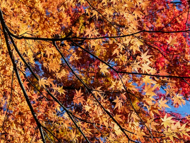 Rote ahornblätter auf dem ahornbaum im herbst