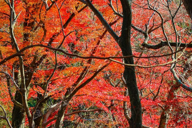 Rote ahornblätter bäume mit sonnenlicht auf herbstsaison.