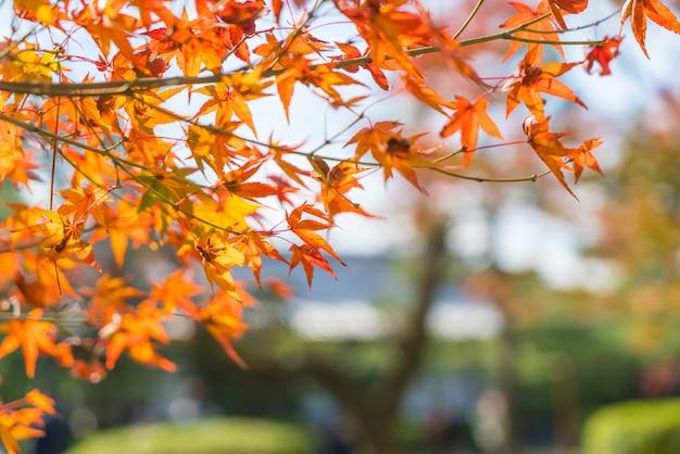 Rote ahornblätter, die am park in kyoto blühen