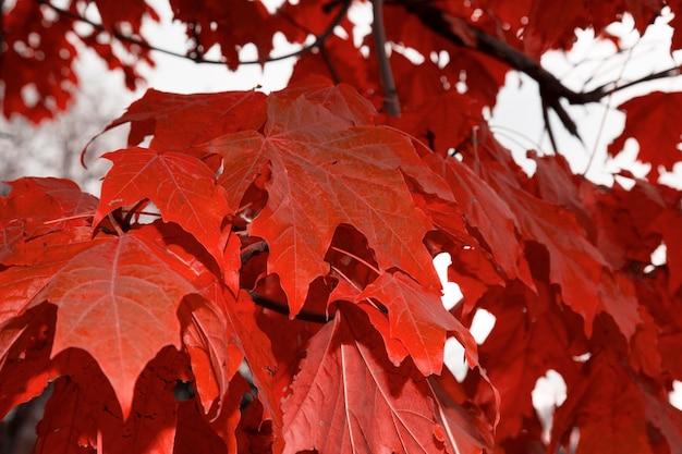 Rote ahornblätter im herbst an den ästen des baumes. üppiges laub im oktober