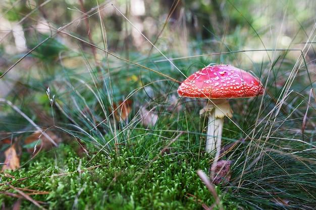 Rote amanita im wald im herbst, roter pilz, fliegenpilz im wald, nicht essbarer pilz, giftiger pilz. natürliches licht, lebendige farben und selektiver fokus.