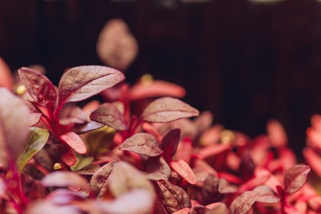 Rote amaranth-mikrogrüns, die drinnen im boden wachsen.