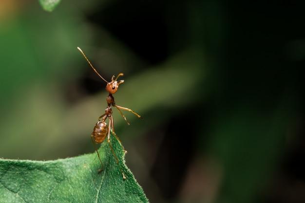 Rote ameisen auf den blättern