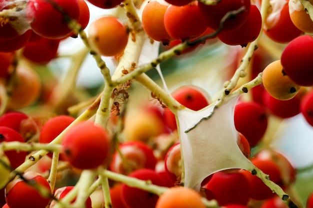 Rote ameisen bauen nester auf der handfläche, um blattläuse zu füttern und flüssigkeit zu saugen