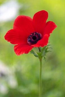 Rote anemonenblume und laub über hellem hintergrund.