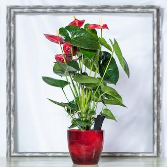 Rote anthurium laceleaf blume im roten topf, rahmenraum