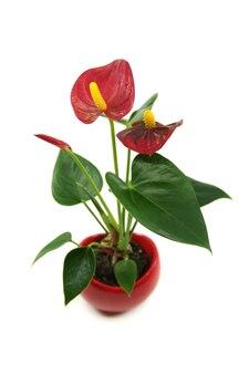 Rote anthurium-laceleaf-blumenpflanze im topf lokalisiert auf weißem hintergrund. allgemeine gebräuchliche namen anthurium, schwanzblume, laceleaf, flamingoblume.