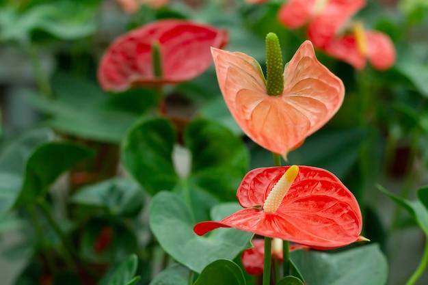 Rote anthuriumblüten mit grünen blättern