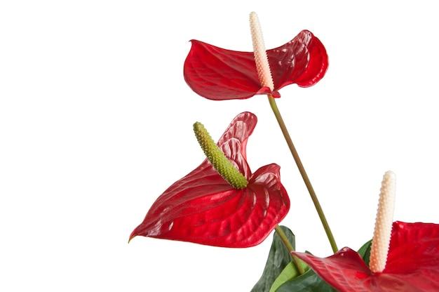 Rote anthuriumblumen lokalisiert auf weiß