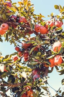 Rote apfelfrüchte auf baum schließen oben