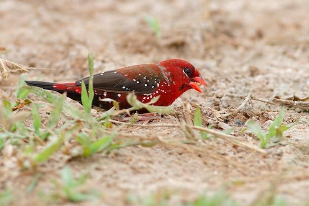 Rote avadavat amandava amandava schöne männliche vögel von thailand