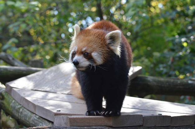Rote bärenkatze klettert entlang einer holzplanke.