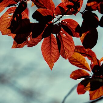 Rote baumblätter in der herbstsaison
