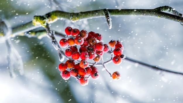 Rote beeren der eberesche auf einem baum während eines schneefalls