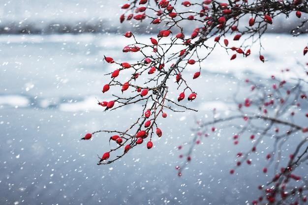 Rote beeren der heckenrose auf den zweigen auf dem hintergrund des flusses während eines schneefalls