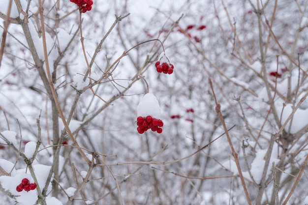 Rote beeren von guelder rose mit schnee bedeckt