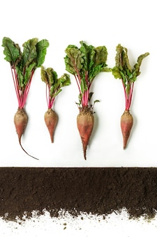 Rote beete wächst im boden, querschnitt, ausgeschnittene collage. wachsende pflanze mit isolierten blättern. landwirtschafts-, botanik- und landwirtschaftskonzept