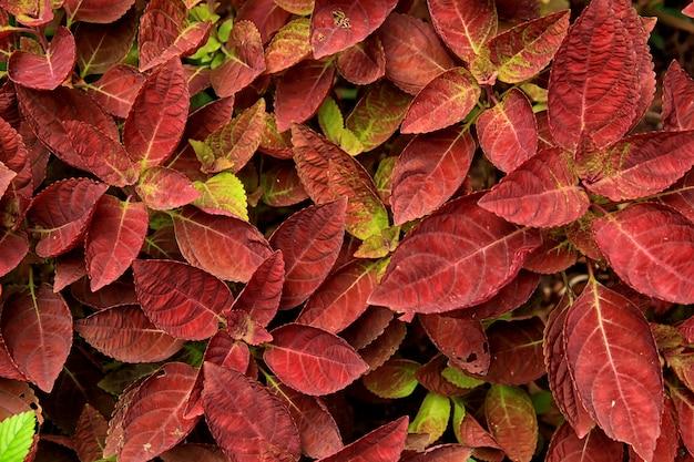 Rote belaubte pflanzen gefunden in einem garten