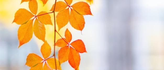 Rote blätter einer wilden traube. herbstblätter der wilden trauben mit unscharfem hintergrund.